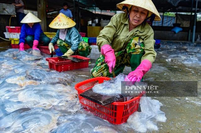 Vào mùa sứa biển, ngư dân Thanh Hóa có tiền triệu nhờ lộc trời - 4