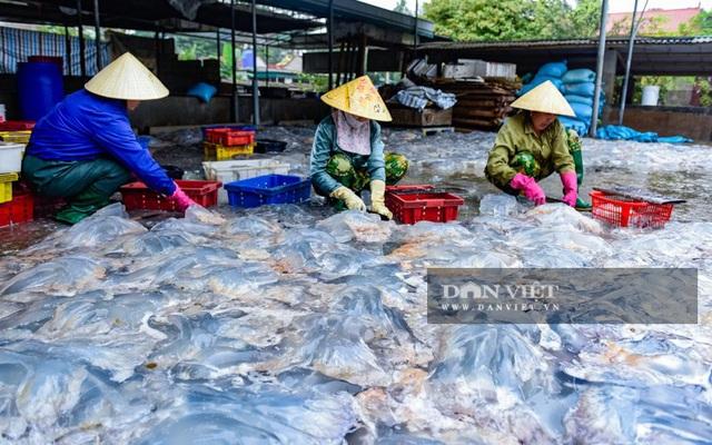 Vào mùa sứa biển, ngư dân Thanh Hóa có tiền triệu nhờ lộc trời - 7