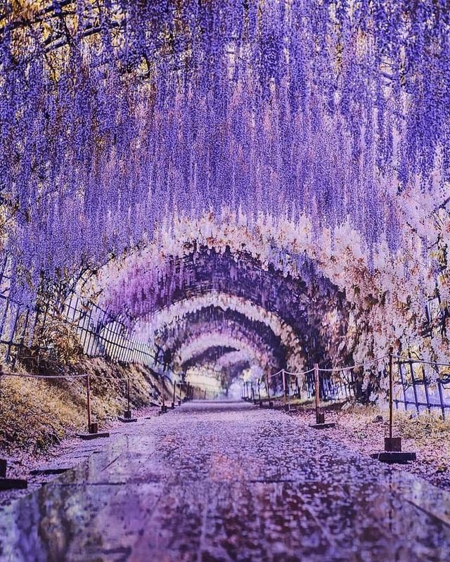 Tháng 4, ngắm hoa tử đằng ở những nơi đẹp nhất Nhật Bản - 2
