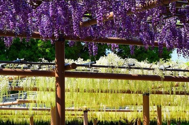 Tháng 4, ngắm hoa tử đằng ở những nơi đẹp nhất Nhật Bản - 3