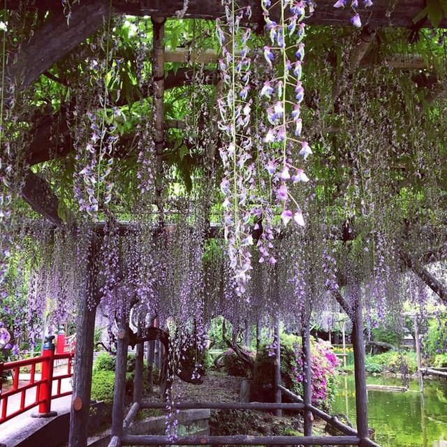 Tháng 4, ngắm hoa tử đằng ở những nơi đẹp nhất Nhật Bản - 4