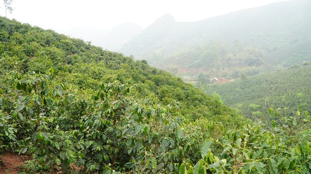 Người dân Sơn La đổi đời từ cây cà phê - 1