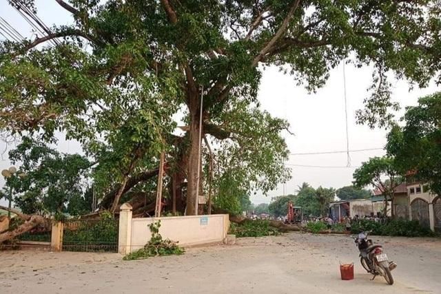 Hai nhánh cây đa Làng Trù tại xã Nghĩa Khánh, huyện Nghĩa Đàn bất ngờ gãy rơi xuống đường khiến 4 học sinh bị thương.jpeg