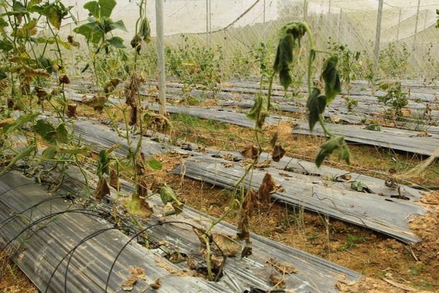 Vỡ mộng nông nghiệp công nghệ cao, nhà đầu tư rục rịch tháo chạy - 3