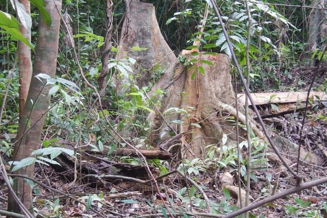 Truy trách nhiệm vụ hàng chục cây rừng tự nhiên bị đốn hạ - 1
