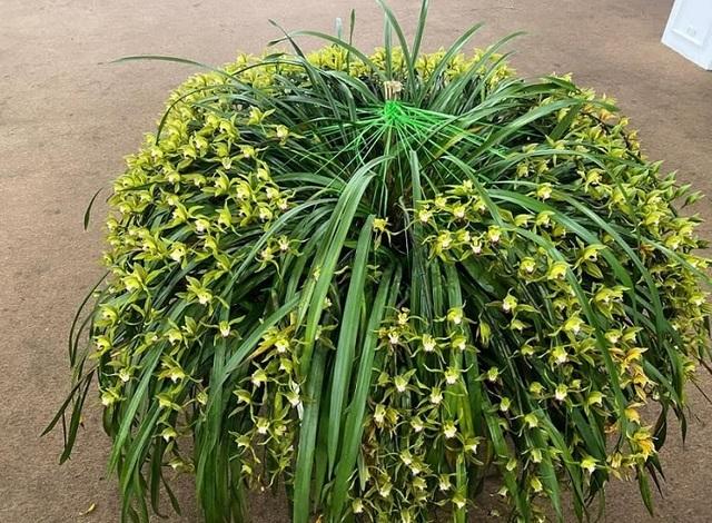 Sự thật về loài hoa lan vua chúa chỉ mấy chục ngàn đồng mua cả ôm - 1