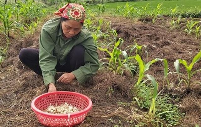 Người làm nghề trồng hành tăm buồn vì điệp khúc: Được mùa - mất giá - 2
