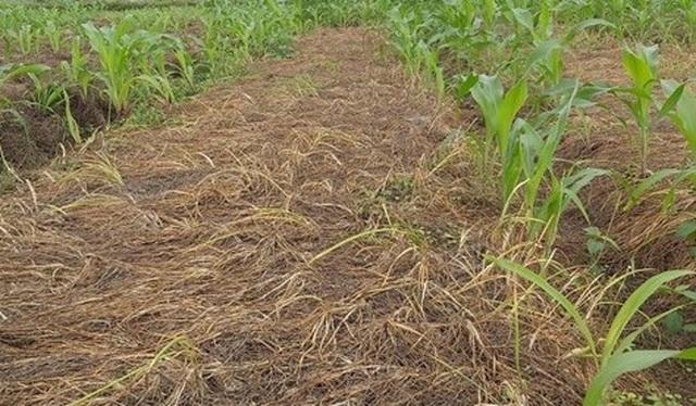 Người làm nghề trồng hành tăm buồn vì điệp khúc: Được mùa - mất giá - 1