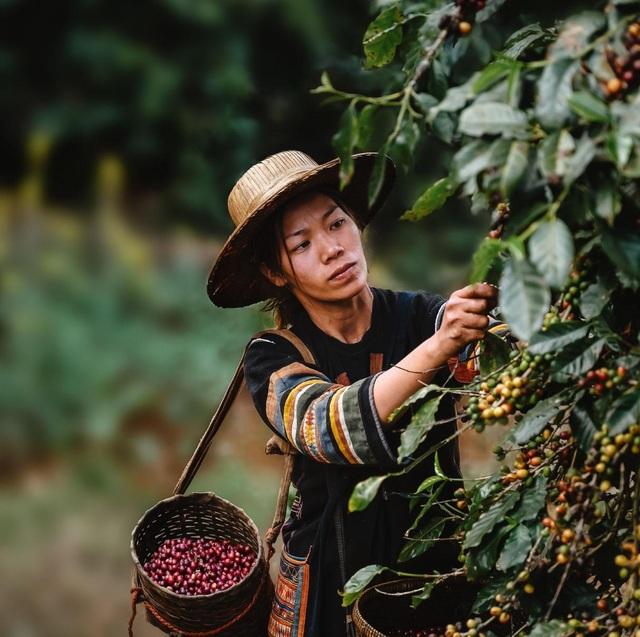 Trồng cà phê bao nhiêu lâu sẽ cho thu hoạch? - 2