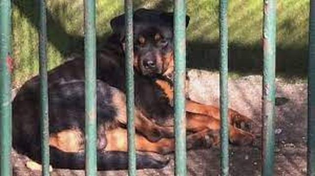Vườn thú treo đầu dê bán thịt chó: Nhốt chó vào chuồng lừa khách là sư tử - 3