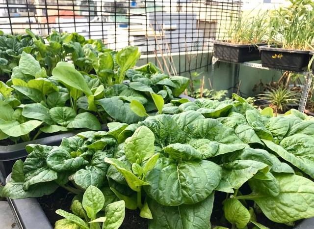 Rau trái trĩu trịt như nông trại trên vườn sân thượng ở Đà Nẵng - 3