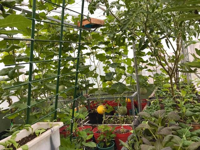 Rau trái trĩu trịt như nông trại trên vườn sân thượng ở Đà Nẵng - 1