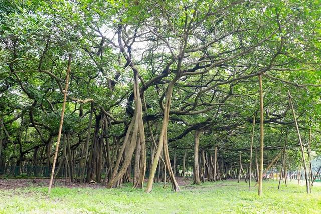 Cây đa khổng lồ nhất thế giới tuổi đời 250 năm, tán cây phủ rộng 14.000 m2 - 2