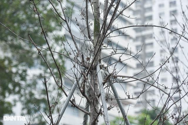 Hàng phong lá đỏ khô héo ở Hà Nội trước giờ bị khai tử - 8