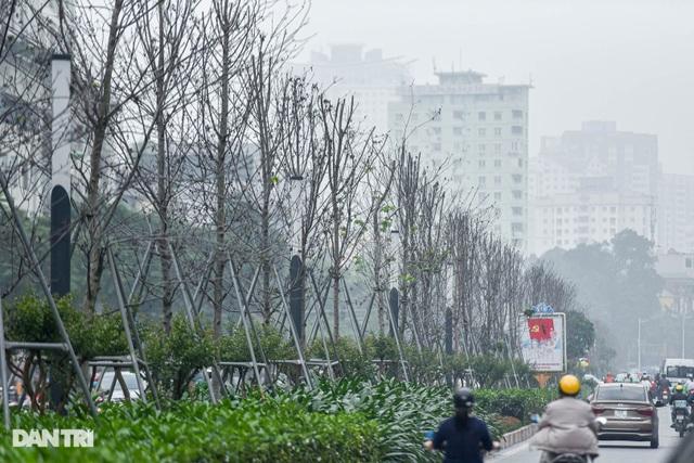 Hàng phong lá đỏ khô héo ở Hà Nội trước giờ bị khai tử - 3