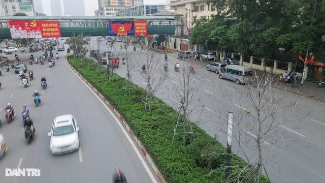 Hàng phong lá đỏ khô héo ở Hà Nội trước giờ bị khai tử - 2