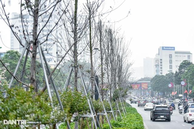 Hàng phong lá đỏ khô héo ở Hà Nội trước giờ bị khai tử - 7