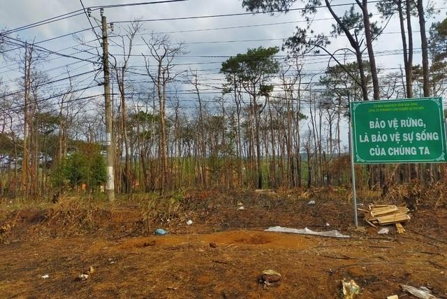 Hàng trăm cây thông bị đốt cháy sau khi bị khoan gốc, hạ độc - 1