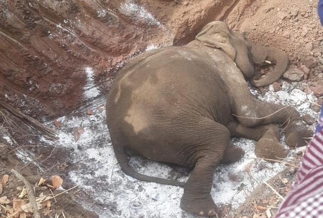 Cụ voi tại Buôn Đôn chết ở tuổi 80 - 1