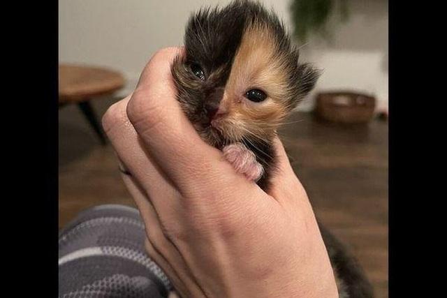 Mèo con mặt 2 nửa màu đốn tim cư dân mạng - 1