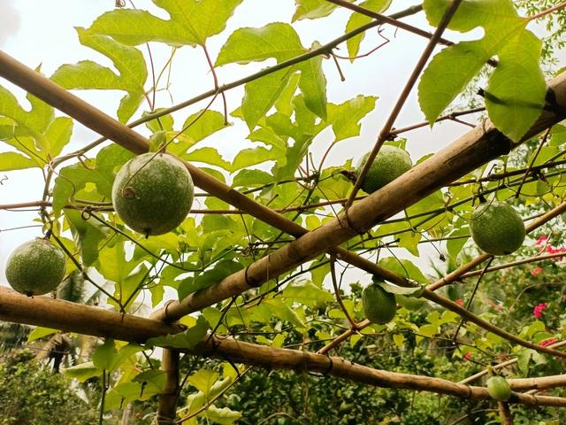 Cô gái bỏ phố về quê làm khu vườn 500m2 tràn ngập rau trái ở Bến Tre - 3