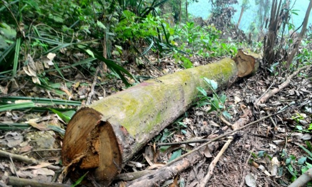 Cận cảnh hàng trăm cây gỗ lớn trong rừng chỉ còn trơ gốc - 7