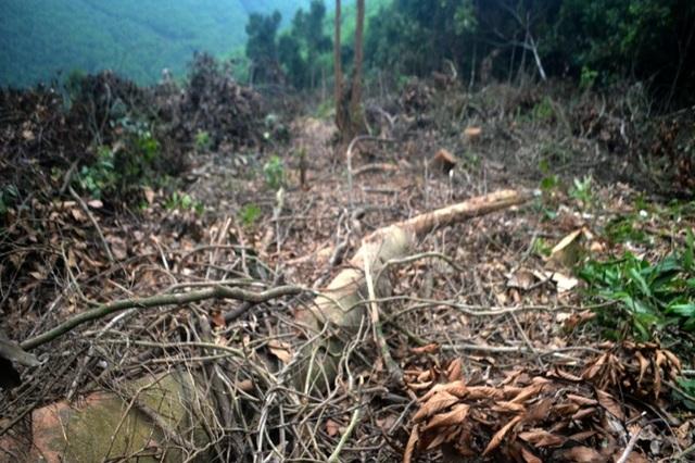 Cận cảnh hàng trăm cây gỗ lớn trong rừng chỉ còn trơ gốc - 11