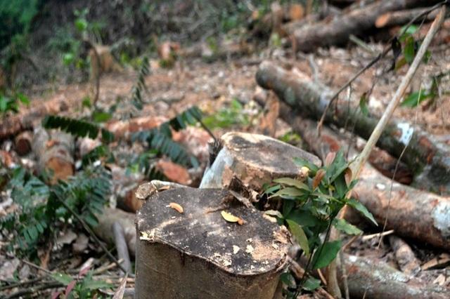 Cận cảnh hàng trăm cây gỗ lớn trong rừng chỉ còn trơ gốc - 6