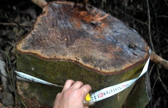 Cận cảnh hàng trăm cây gỗ lớn trong rừng chỉ còn trơ gốc - 4