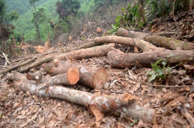 Cận cảnh hàng trăm cây gỗ lớn trong rừng chỉ còn trơ gốc - 2