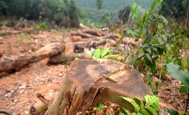 Cận cảnh hàng trăm cây gỗ lớn trong rừng chỉ còn trơ gốc - 1