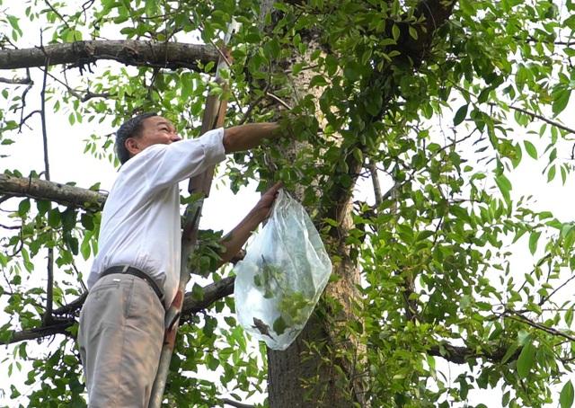 Choáng với loại tầm gửi quấn quanh thân cây được hét giá 1 triệu đồng/kg - 2