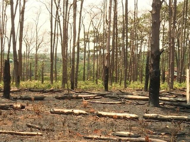 Hàng trăm cây thông bị đốt cháy sau khi bị khoan gốc, hạ độc - 4