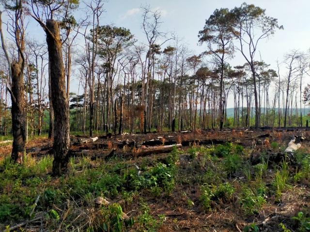 Hàng trăm cây thông bị đốt cháy sau khi bị khoan gốc, hạ độc - 3