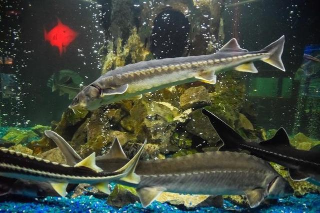 Bí mật nơi nông dân nuôi cá làm ra đặc sản thượng hạng hàng trăm triệu/kg - 3