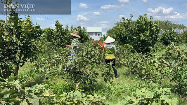 Đồng Nai: Chàng trai bỏ phố về quê trồng chanh, chỉ vặt lá bán cũng thu tiền tỷ - 5