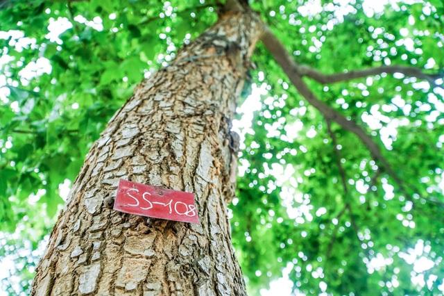 Còn một hàng phong lá đỏ vẫn xanh tốt, đẹp lãng mạn ở Hà Nội - 2