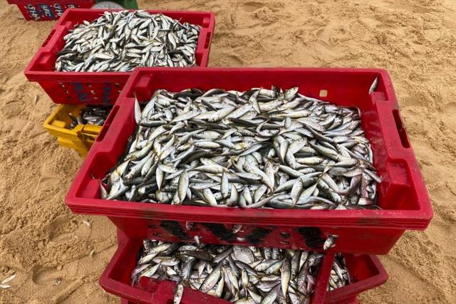 Trúng đậm cá nục mộng, ngư dân Quảng Bình thu tiền triệu mỗi đêm - 5