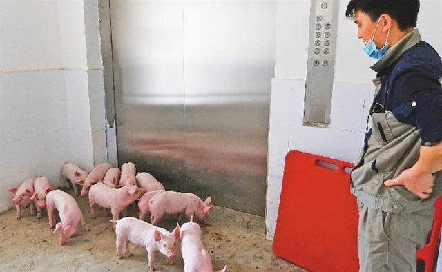 Chuyện lạ có thật: Xây khách sạn cao 9 tầng, lắp thang máy xịn xò chỉ để nuôi... lợn - 2