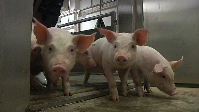 Chuyện lạ có thật: Xây khách sạn cao 9 tầng, lắp thang máy xịn xò chỉ để nuôi... lợn - 4