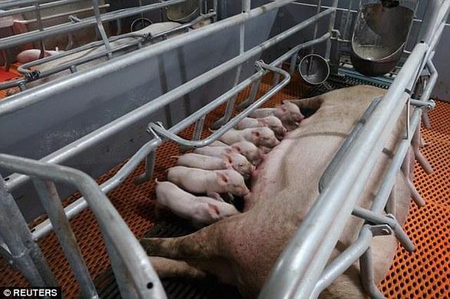 Chuyện lạ có thật: Xây khách sạn cao 9 tầng, lắp thang máy xịn xò chỉ để nuôi... lợn - 5