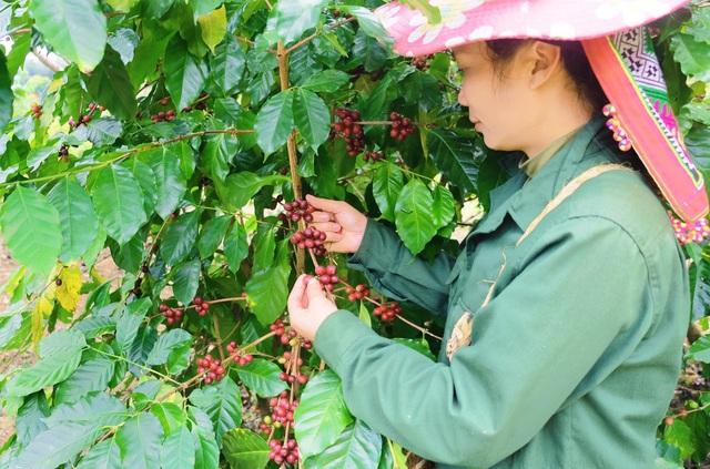 Detech Coffee: Khẳng định giá trị cà phê Arabica Sơn La - 1