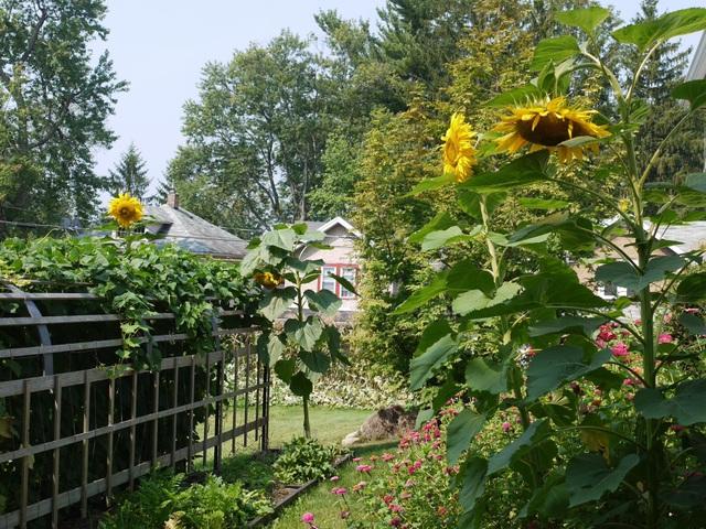 Biến đất quanh nhà thành vườn ngập cây trái khiến hàng xóm cũng trầm trồ - 3