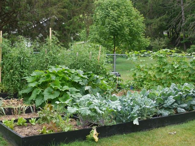 Biến đất quanh nhà thành vườn ngập cây trái khiến hàng xóm cũng trầm trồ - 4