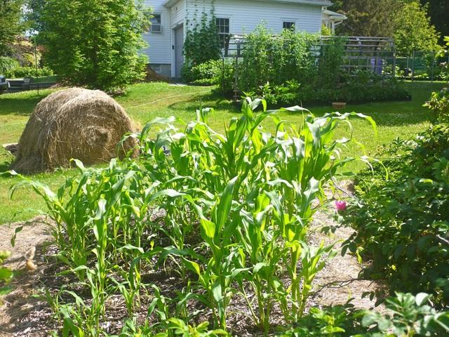 Biến đất quanh nhà thành vườn ngập cây trái khiến hàng xóm cũng trầm trồ - 6