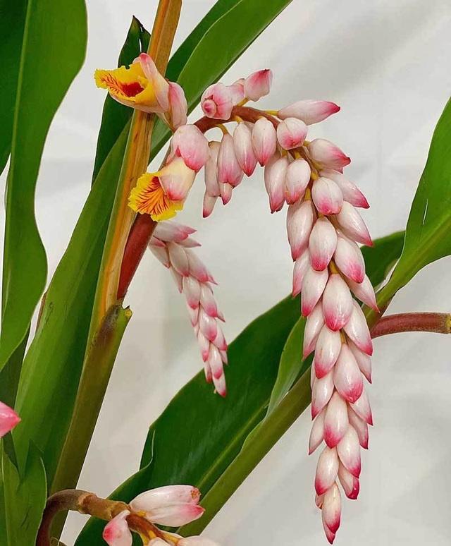 Hoa dại bờ bụi siêu đắt đỏ, mối buôn bán 2.000 cành/ngày - 2