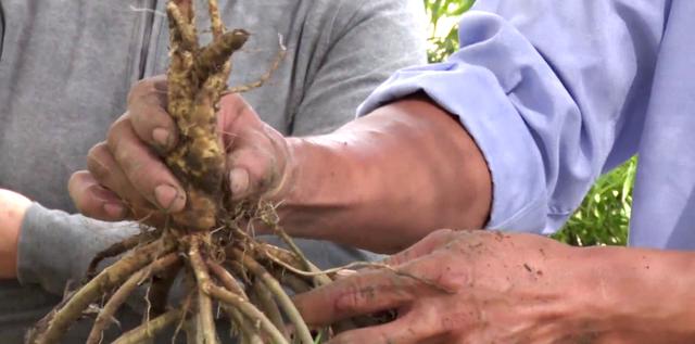 Tiền Giang: Liều trồng sâm tiến vua, ông nông dân bất ngờ thành tỷ phú - 2