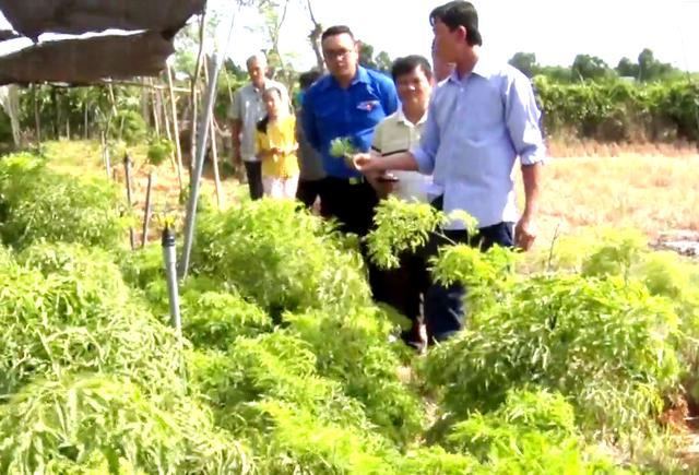 Tiền Giang: Liều trồng sâm tiến vua, ông nông dân bất ngờ thành tỷ phú - 3