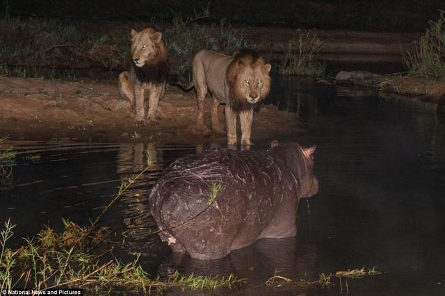 Chùm ảnh: Hà mã và cuộc chiến sống còn với những con sư tử đói - 2