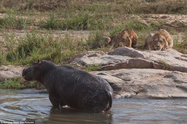 Chùm ảnh: Hà mã và cuộc chiến sống còn với những con sư tử đói - 4